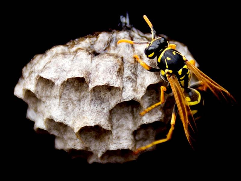 How to get rid of a wasps nests and 100s of other Wasp FAQs